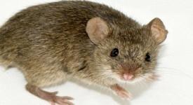 Боязнь Мышей - Причины и Способы Избавления
