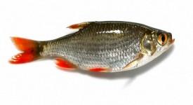 Польза Речной Рыбы для Здоровья