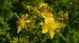 Зверобой Трава – Лечебные Свойства и Применение