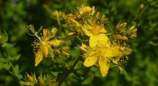 Зверобой трава - Лечебные свойства и применение