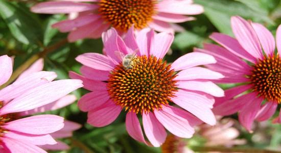 Эхинацея пурпурная - Применение и противопоказания