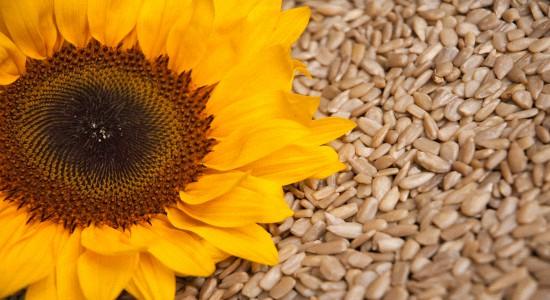 Польза семечек подсолнуха для здоровья